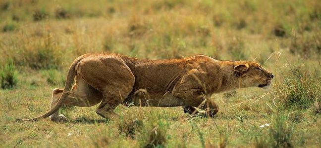 Lion_sideview